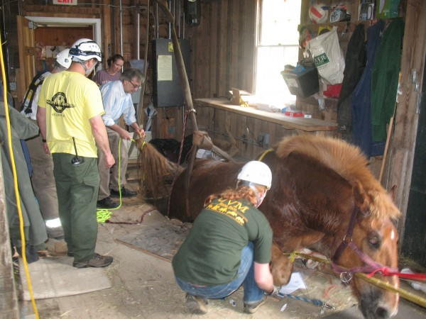 Duke, a 1,800-pound horse that pulls carriages in Acadia National Park, escaped his stall and fell through floor boards at Wildwood Stables early Wednesday, May 23, 2012. It took 30 people to haul the horse out of the hole.