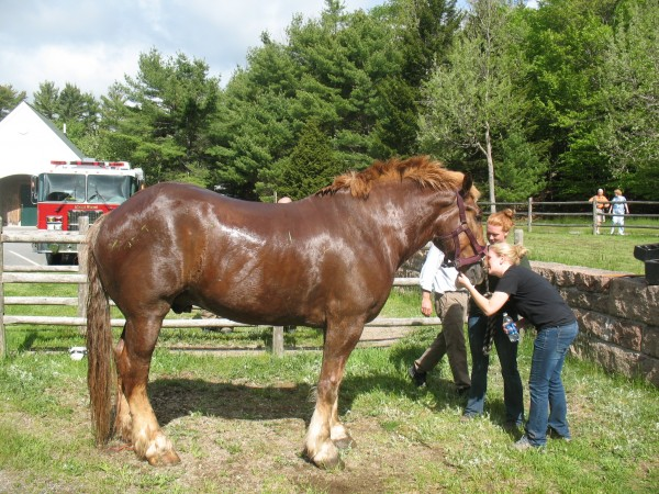 Duke, a 1,800-pound horse that pulls carriages in Acadia National Park, escaped his stall and fell through floor boards at Wildwood Stables early Wednesday, May 23, 2012.  It took 30 people to rescue him, but Duke appeared to have suffered only minor injuries.
