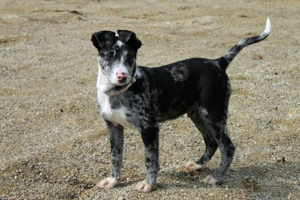Rooster, a 6-month-old Aussie mix, disappeared Wednesday night on Stillwater Avenue in Bangor when he bolted from his family. He was found Sunday evening.