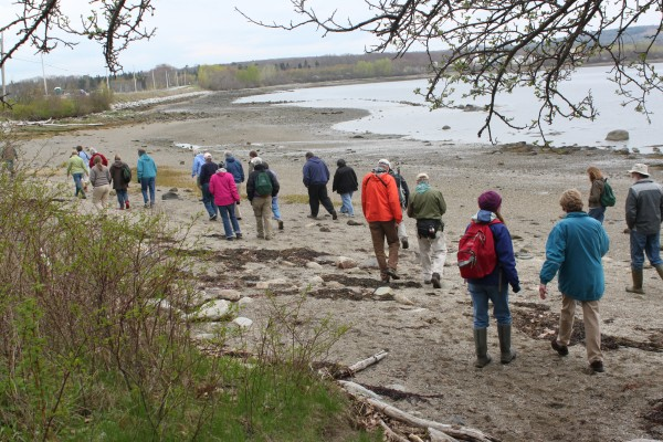A group of 20 midcoast residents participating in the Penobscot Bay Stewardship Program walk along the east shore of Sears Island on May 8, 2012, during a field trip to learn about the island's history and clam flats.
