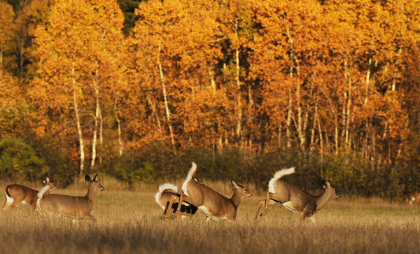 White-tailed deer bound across a field in Orono in October 2010.