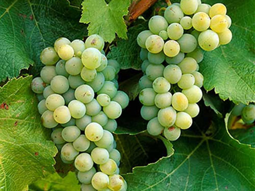 Breakwater Vineyards grows nine varieties of grapes.