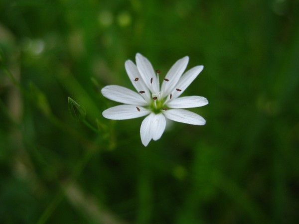 Stitchwort like a small star in the field grass.