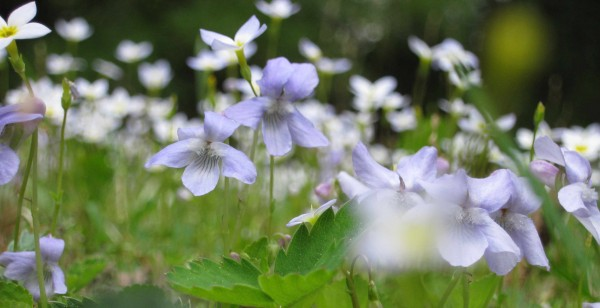 Violets bow to the bluets.