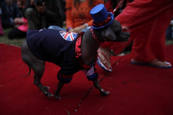 Mugly, an eight-year-old Chinese Crested from Peterborough, Britain, walks on the red carpet during the 24th annual World's Ugliest Dog Contest at the Sonoma-Marin Fair in Petaluma, California, June 22, 2012. Mugly won the $1000 as well as the title of the World's Ugliest Dog.