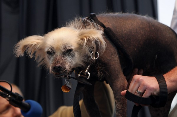 Creature, a Mexican Hairless dog, stands on the stage during the 24th annual World's Ugliest Dog Contest .