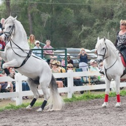 Hermann's Royal Lipizzan Stallions appearing July 20-22 at Pembroke Fairgrounds, Old County Road, Pembroke ME 6PM nightly  FMI  or to purchase advance tickets call 726.9666 or email 1stlightfarm@gmail.com