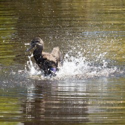 An Eastern black duck at Asticou Azalea Gardens in Northeast Harbor.