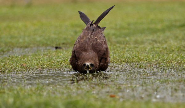 A kite bird drinks water from a puddle in a public lawn in New Delhi, India on Friday, June 1, 2012. The weather in northern India has been extremely hot in recent days with temperatures reaching as high as 45 degrees Celsius, or 113 degrees Fahrenheit.