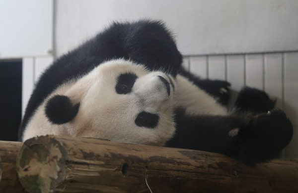 Female giant panda Shin Shin rests at Ueno Zoo in Tokyo on Wednesday, June 27, 2012. The zoo announced Monday that Shin Shin, who arrived from China with a male partner in Feb, 2011, has shown signs of pregnancy. The zoo plans to suspend public viewing from July 3 to monitor her closely. A zoo official said the status won't be confirmed until the birth of a baby because there are many cases that end in false pregnancy.