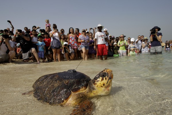 A satellite-tagged Loggerhead sea turtle finds her way to the water after the Dubai Turtle Rehabilitation Project employees released a group of them to the Gulf waters in Dubai, United Arab Emirates on Friday, June 29, 2012.