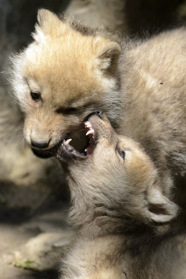 Two two-month old baby arctic wolves play in their enclosure in the zoo de Servion, in Servion, Switzerland, Sunday, June 17, 2012.