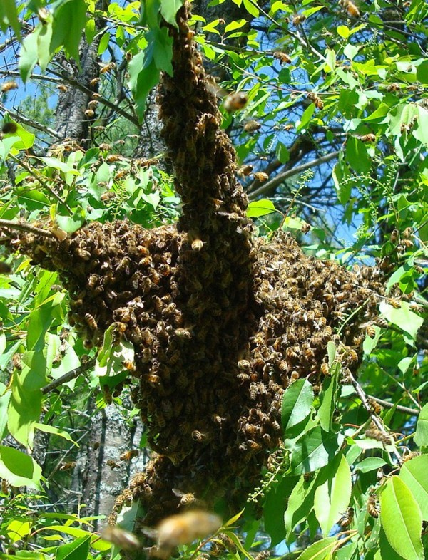 A small swarm of bees clustered in a tree where they will wait for scouts to find a location for their new hive.