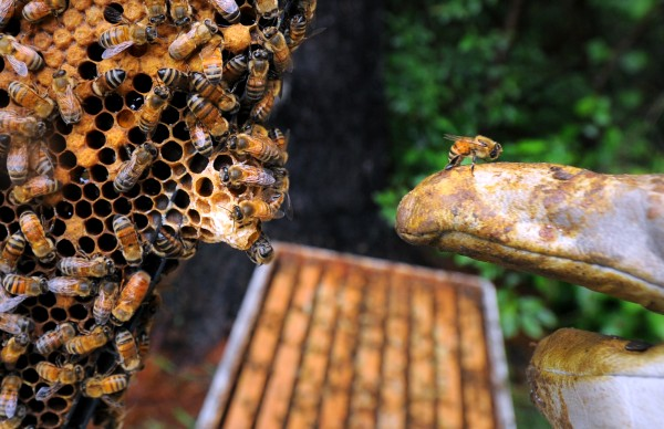 A honneybee clings to the gloved hand of Peter Cowin as he points out a queen cell in a behive near his Hampden home. He said that the presence of such cells indicate that the hive is rearing a new queen and is preparing split.
