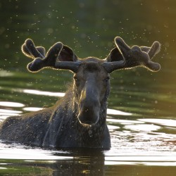 Prospective moose hunters flock to Scarborough