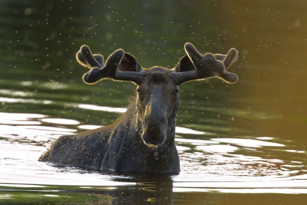 A young bull raises his head out of the water in Sandy Stream Pond in Baxter State Park in a photo taken June 2008 by wildlife photographer John Fast, 68, of New London, Conn.