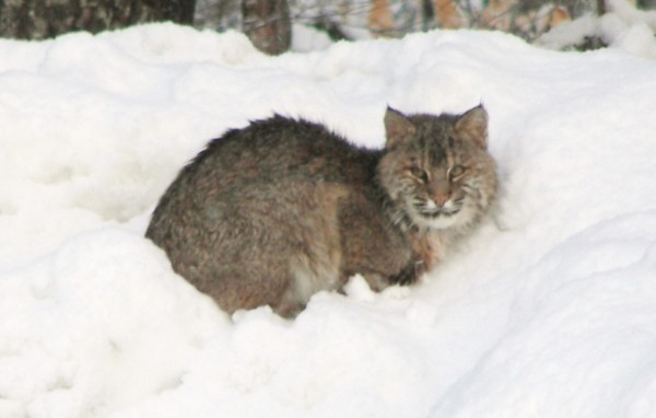 A bobcat is seen in Holden in a 2011 file photo.