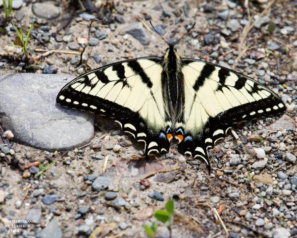 A pretty Canadian tiger swallowtail.