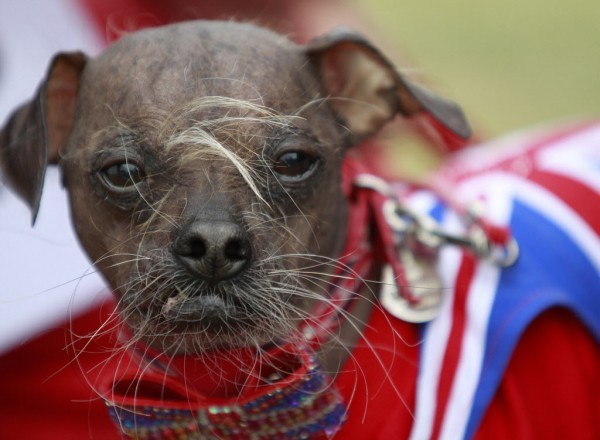 Mugly, a Chinese crested dog owned by Bev Nicholson of Peterborough, England, won the title of &quotWorld's Ugliest Dog&quot at the Sonoma-Marin Fair in Petaluma, Calif., on Saturday, June 23 2012.