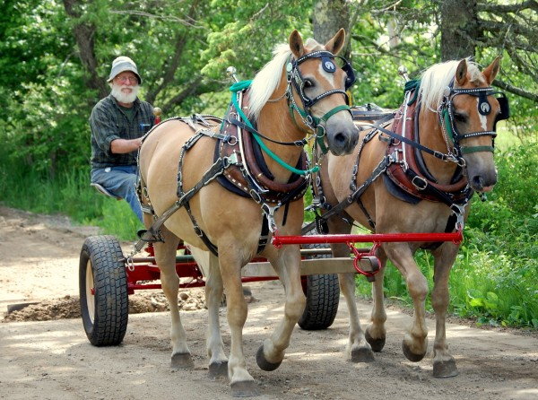 Bill Thayer puts his new draft horse team through the paces Sunday, dragging the driveway of Darthia Farm in Gouldsboro. Thayer took delivery Friday of the team that he purchased in Kentucky. He hopes to have them doing fieldwork within a few weeks.