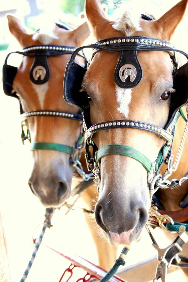 Andy (left) and Archie are 15-hand Haflinger draft horses acquired last week to replace a draft horse team lost in the May 5 fire that destroyed the old barn that housed most of the animals on the 150-acre Gouldsboro organic farm.