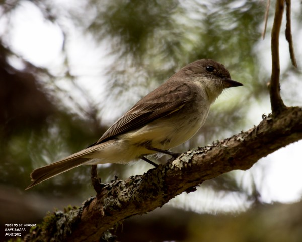 The eastern phoebe.