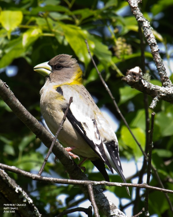 A female evening grosbeak.