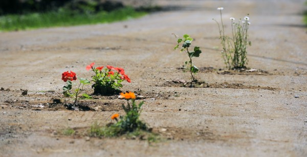 A resident of Mill Creek Road in Orrington, apparently frustrated with the potholes in the road, planted flowers in some of them.