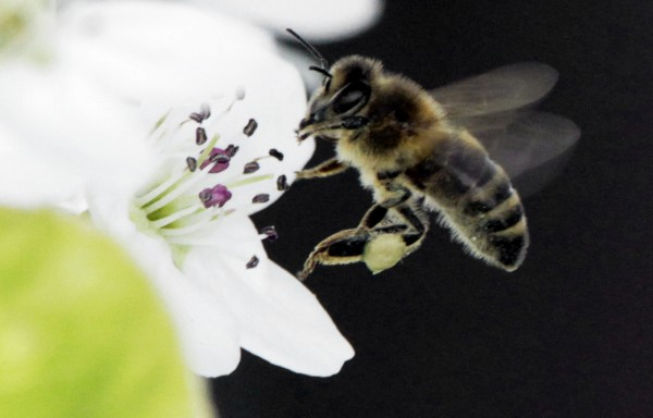 A bee works on collecting nectar from  a fruit tree in West Bath on Monday, April 30, 2012.