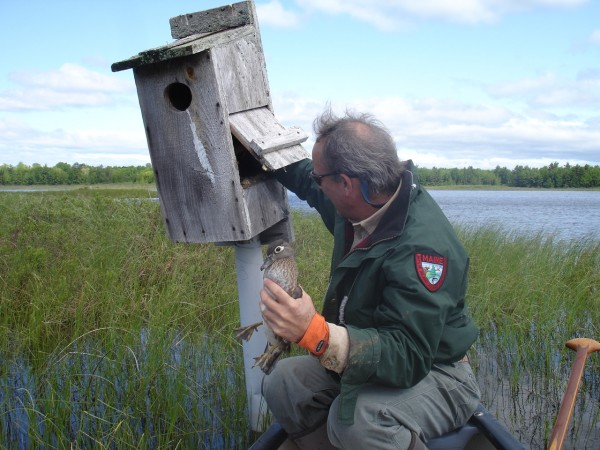 Wildlife Biologist Keel Kemper banding a wood duck from a nestbox