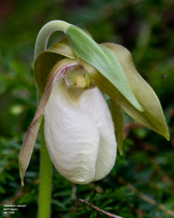 A lady's slipper.