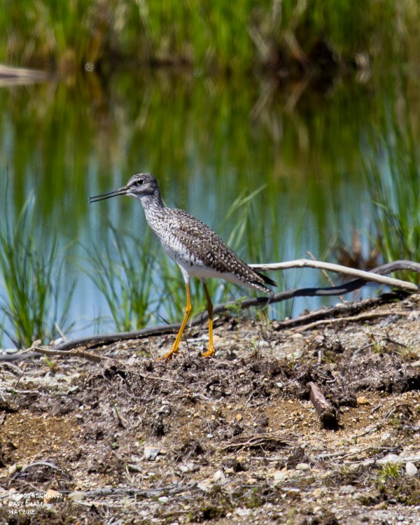 A lesser yellowlegs.