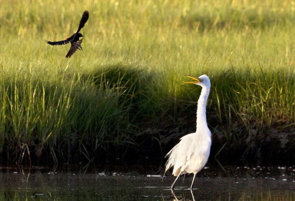 A red-winged blackbird divebombs a great egret that may have been encroaching on the smaller bird's nesting area at the Scarborough Marsh Sunday, June 17, 2012.