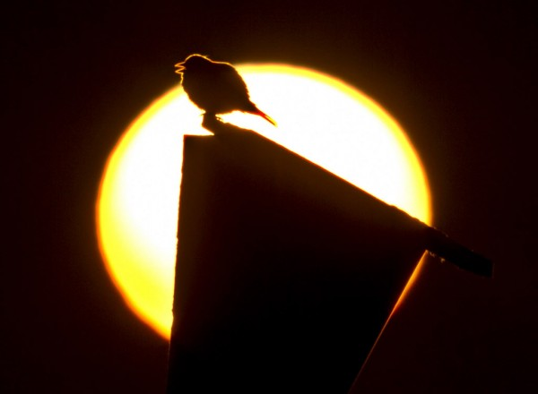 A singing songbird is silhouetted by the rising sun at the Scarborough Marsh Sunday, June 17, 2012.