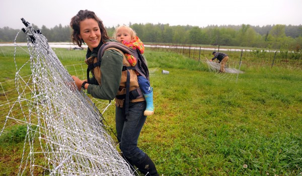 Anna Shapley-Quinn gathers up electric fence with her 20-month-old daughter Ada riding in the baby carrier. Anna and her husband, Seth (right), were resetting the fence so the calves and the sheep can have a fresh section of pasture at North Branch Farm in Monroe.
