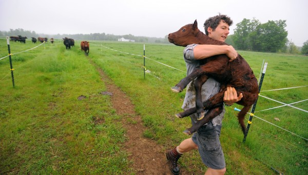 Tyler Yentes carries a calf that was born overnight and was out in the field with the other animals. He said it was relatively easy way to get both the calf and its mother back to the barn. Tyler is in the process of building a milk room so they can become a licensed dairy and he hopes to later transition it to organic milk production.