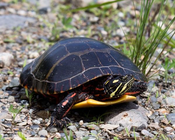 A painted turtle near Halfway Brook in Costigan.