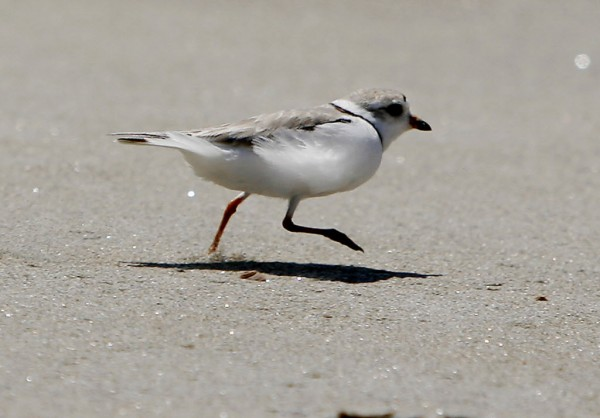 In this June 2006 file photo, a piping plover runs across the beach in Phippsburg, Maine.