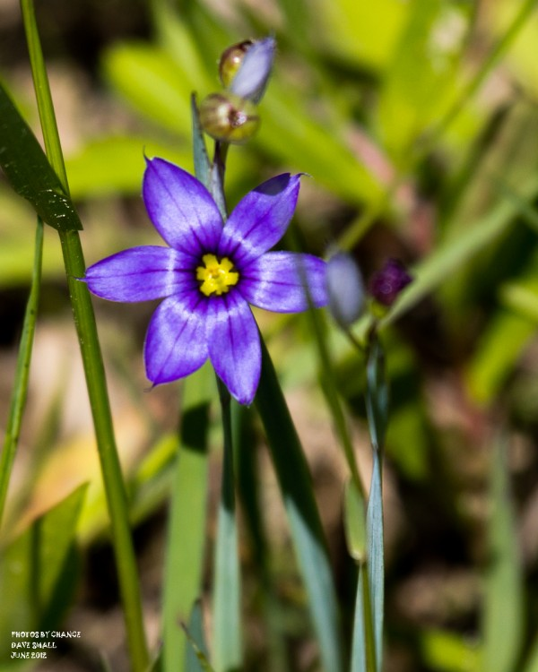 Pointed blue-=eyed grass.