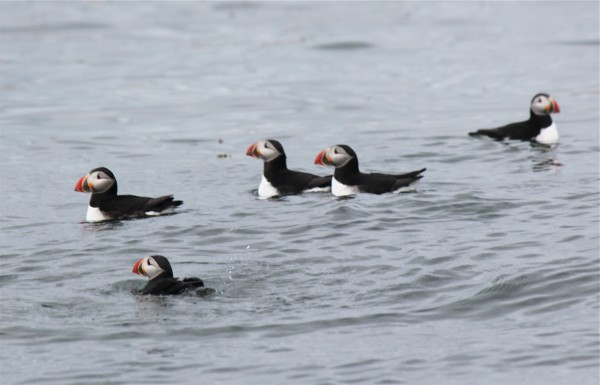 A group of puffins feed near Petit Manan Island on June 6, 2012, and are seen during a seabird cruise lef by James Robertson of Harrington, owner of Robertson Sea Tours.