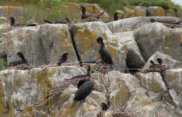 Cormorants nest on the cliffs of Jordan's Delight, a island off the coast of Maine near Narraguagus Bay, and are seen on a seabird cruise led by Capt. James Robertson of Harrington, owner of Robertson Sea Tours, on June 6, 2012.
