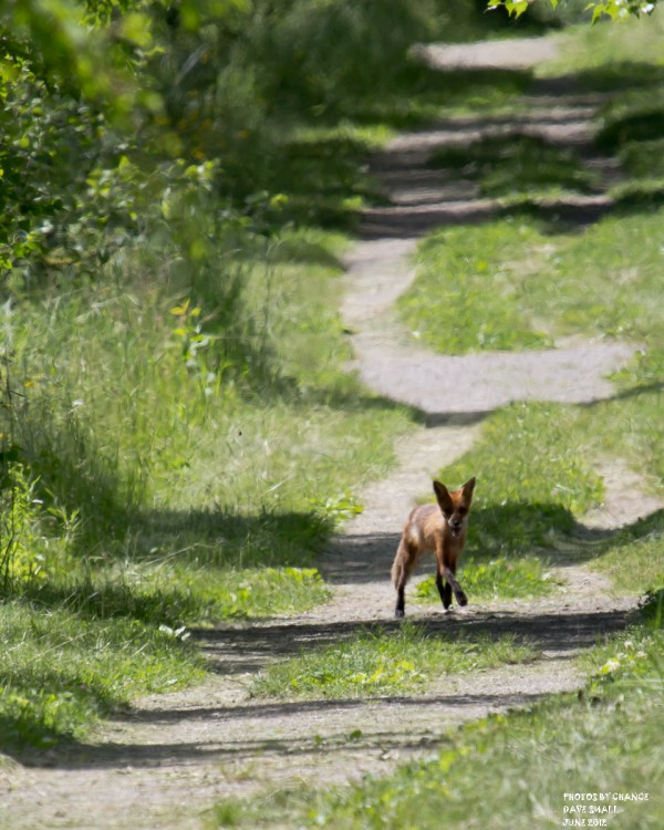 A red fox on the hunt.