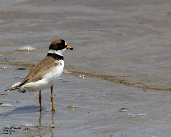 The semipalmated plover.