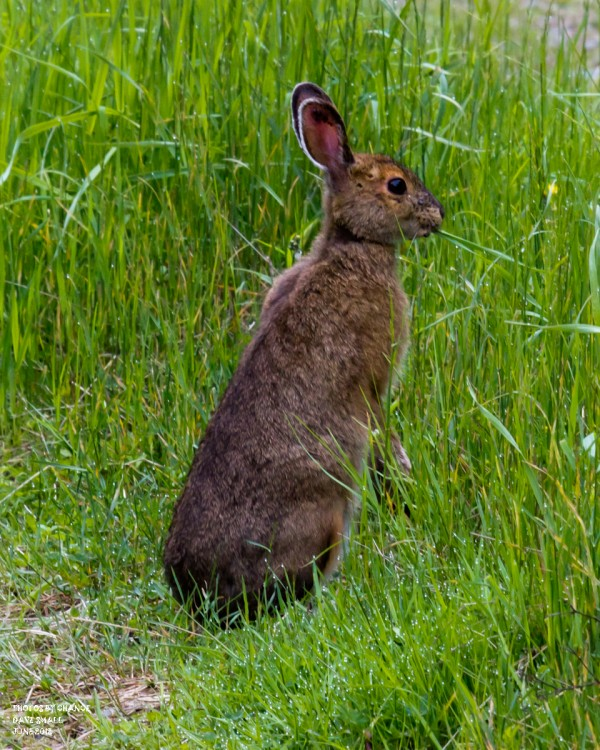 A snowshoe hare munches grass.