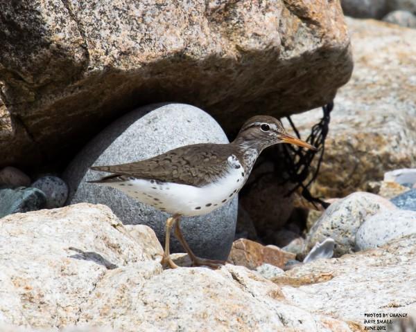 A spotted sandpiper.