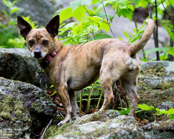 Tinkerbell the hiking dog.