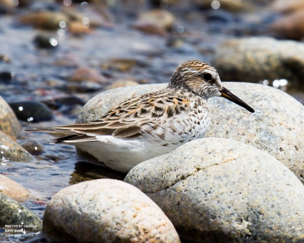 The white-rumped sandpiper
