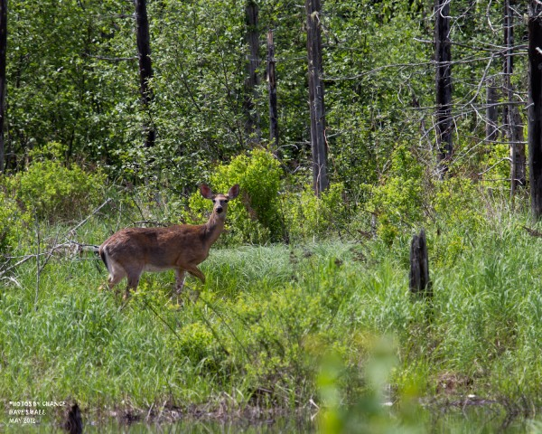 A white-tailed deer on high alert.