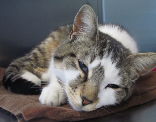 Walker, a 3-year-old cat, is now available for adoption at Bangor Humane Society.
