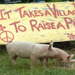 Farm partners raise free-range pigs in Winterport